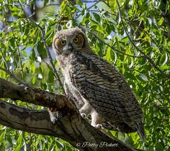 great horned owl (Pattys-photos) Tags: great horned owl marketlakewildlifemanagementarea idaho pattypickett4748gmailcom pattypickett