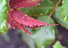 When The Shark Bites (nrg_crisis) Tags: macro leaves plant water droplets red green outdoors nikond5600 whenthesharkbites depthoffield