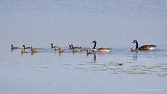 Kanadanhanhi - Canada Goose - Branta canadensis 848 (Hannu Tervonen) Tags: 2019 linnut birds kanadanhanhi canadagoose