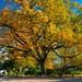 #159/365 Oak tree displaying her finery