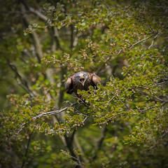 Red Kite up a Tree (mond.raymond1904) Tags: red kite wicklow up tree staring