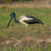 Black Necked Stork (Jabiru) - (male) - Yellow Waters Billabong, kakadu National Park, NT, Australia