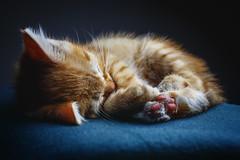 Keks (patrick_illhardt) Tags: miezi katze cat kitten cute sleeping feline beauty animalphotography petphotography tierfotografie