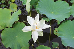 Lotus Flower (Rckr88) Tags: pamplemousses mauritius lotus flower lotusflower flowers lotusflowers plant plants green greenery nature naturalworld outdoors travel travelling water pond ponds