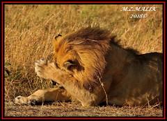 LION KING (Panthera leo).....MASAI MARA......SEPT,2018. (M Z Malik) Tags: africa nikon leo kenya wildlife safari lionking masaimara keekoroklodge d3x flickrbigcats exoticafricancats exoticafricanwildlife 200400mm14afs lions ngc npc