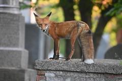 Fox (Peter Granka) Tags: foxkits fox redfox