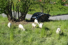Sheep @ Hike around Roc de Four Magnin (*_*) Tags: lathuile sourcesdulacdannecy 74 hautesavoie france europe trail randonnee nature montagne mountain hiking afternoon may bauges spring printemps 2019 sentier walk marche annecy savoie