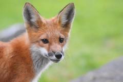 Fox kit (Peter Granka) Tags: foxkits fox redfox
