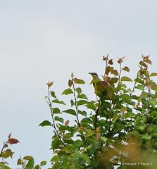 Eastern Meadowlark_8591_00001-001 (Henryr10) Tags: voiceofamericametropark voa westchesteroh ohio usa metroparksofbutlercountyoh easternmeadowlark sturnella sturnellamagna meadowlark avian bird vogel ibon oiseau pasare fågel uccello tékklistar eame songbird