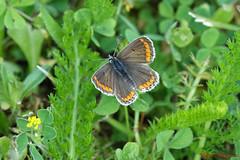 Collier-de-corail (Ezzo33) Tags: france butterfly sony bordeaux butterflies jardin papillon parc papillons gironde ezzat plebejusagestis collierdecorail argusbrun nammour rx10m3 nouvelleaquitaine ezzo33