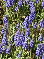 Lombard, IL, Lilacia Park, Spring, Grape Hyacinth Flowers (Mary Warren 13.6+ Million Views) Tags: lombardil lilaciapark nature spring flora plants blooms blossoms flowers blue grapehyacinth