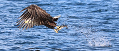 1S9A2604 (saundersfay) Tags: whitetailedseaeagles eagles fishing diving catching fish water talons predator mull birds