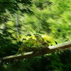 Leon ! Where are you ? (Le.Patou) Tags: challenge smileonsaturday twoinone fz1000 caméléon verdure sousbois vert synthèse fusion chameleon green greenery undergrowth