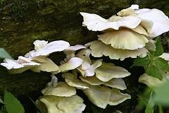 Cluster of Oyster Mushrooms (durand clark) Tags: shawneelookoutcountypark mushroom fungus oystermushrooms southwestohio park moss nikonz6mirrorless nikon300mmf4vr