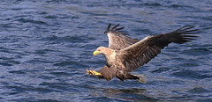 1S9A2720 (saundersfay) Tags: whitetailedseaeagles eagles fishing diving catching fish water talons predator mull birds