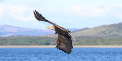 1S9A2610 (saundersfay) Tags: whitetailedseaeagles eagles fishing diving catching fish water talons predator mull birds