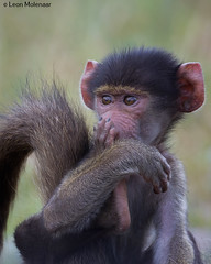 O my gosh!! (leendert3) Tags: leonmolenaar wildlife southafrica krugernationalpark wilderness wildanimal naturereserve naturalhabitat mammal chacmababoon ngc npc coth5