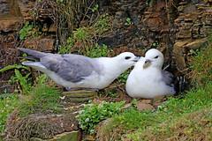 Northern Fulmar - Fulmarus glacialis (Roger Wasley) Tags: northern fulmar fulmarusglacialis bird orkney scotland specanimal