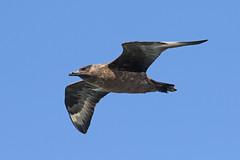 Great Skua - Stercorarius skua (Roger Wasley) Tags: great skua stercorariusskua bird orkney scotland