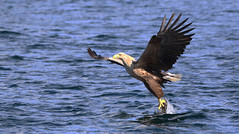 1S9A2516 (saundersfay) Tags: whitetailedseaeagles eagles fishing diving catching fish water talons predator mull birds