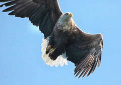 1S9A2339 (saundersfay) Tags: whitetailedseaeagles eagles fishing diving catching fish water talons predator mull birds