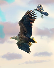 1S9A2262 (saundersfay) Tags: whitetailedseaeagles eagles fishing diving catching fish water talons predator mull birds