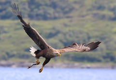 1S9A2201 (saundersfay) Tags: whitetailedseaeagles eagles fishing diving catching fish water talons predator mull birds