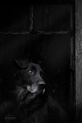 Waiting (Christiane Schäfer) Tags: dog dogs dogphotographer dogphotography dogphoto dogportrait blackdog rescuedog dogwithrain streetdog pet pets petphotographer petphotography petportrait labrador licht retriever regen rain dark window doginthewindow blackinbkack blackdogonblack mongrel mutt personality
