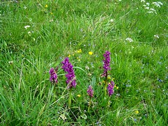 Early Purple Orchids and (ERIK THE CAT Struggling to keep up) Tags: wildflowers orchids derbyshire lathkilldale orchismascula