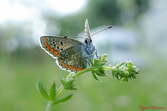 Collier-de-corail (Ezzo33) Tags: france gironde nouvelleaquitaine bordeaux ezzo33 nammour ezzat sony rx10m3 parc jardin papillon papillons butterfly butterflies collierdecorail plebejusagestis argusbrun