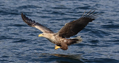1S9A2656 (saundersfay) Tags: whitetailedseaeagles eagles fishing diving catching fish water talons predator mull birds