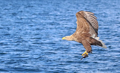 1S9A2607 (saundersfay) Tags: whitetailedseaeagles eagles fishing diving catching fish water talons predator mull birds