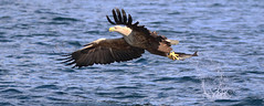 1S9A2517 (saundersfay) Tags: whitetailedseaeagles eagles fishing diving catching fish water talons predator mull birds