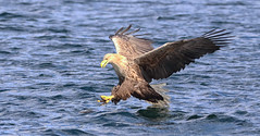 1S9A2515 (saundersfay) Tags: whitetailedseaeagles eagles fishing diving catching fish water talons predator mull birds