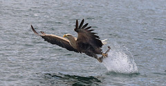 1S9A2055 (saundersfay) Tags: whitetailedseaeagles eagles fishing diving catching fish water talons predator mull birds