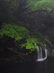 the gentle light in the gentle rain (murozo) Tags: green maple underflow waterfall river water rain mototaki nikaho akita japan 緑 元滝伏流水 伏流水 川 水 雨 日本 にかほ 秋田