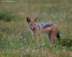 Black-backed Jackal (leendert3) Tags: leonmolenaar wildlife southafrica krugernationalpark wilderness wildanimal naturereserve naturalhabitat mammal blackbackedjackal coth5 ngc