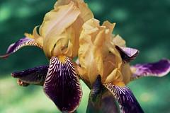 Perennial Reminder (Jetcraftsofa) Tags: nikonf3 micronikkor5528 vista200 35mm slr filmphotography availablelight iris memorial flowers hana bokeh petals tigerstripe delicate closeup analog grandma passingtime perennials