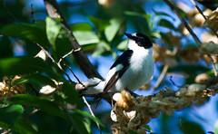 Collared Flycatcher (Ficedula albicollis) (Kremlken) Tags: ficedulaalbicollis flycatchers parks easterneurope birds birding birdwatching nikon500