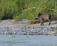 Wild boar (Sus scrofa) (Yann Bld) Tags: wildlifephotography wildboar nikon