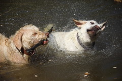 The best thing is in a hot day, is the friends shower.. (Nora077) Tags: labrador perro de agua nora toth dogs