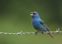 Indigo Bunting (hennessy.barb) Tags: indigobunting passerinacyanea bird blueandgreen nature wildlife