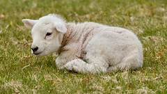 Day Old Lamb (earlyalan90 away awhile) Tags: lamb day old sheep shepherd ovine farm agriculture farming lakedistrict national park cumbria grasmere uk photography nikon d800 zoom lens fells fields meadow grass