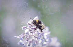 Once upon a bee... (esterc1) Tags: bee flor nature doubleexposure twoinone smileonsaturday