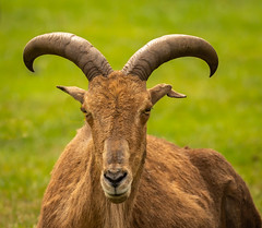 Portrait of a Barbary Sheep 9912 (Mike Thornton 15) Tags: barbarysheep westmidssafaripark horns