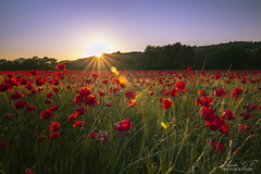 Fantastic poppies field (Pamprelune eye) Tags: landscape poppies field nature campagne campaign redflowers flowers spring france printemps coucherdesoleil sunset var canon reflect light coquelicots canon80d