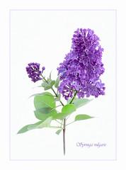 Syringa vulgaris (loraine.french57) Tags: lilac syringavulgaris bloom petals stem whitebackground frame