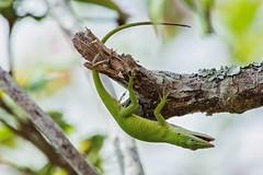Green Gymnast (ACEZandEIGHTZ) Tags: macro tree green nature closeup nikon branch bokeh anole limb anoliscarolinensis d3200 reptile lizard lichen coth coth5 sunrays5