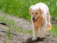 DSC05050-1 (Iso-Star) Tags: hund hunde dog dogs wald forest natur nature goldenretriever