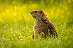 Groundhog (Ryan Jeske) Tags: eaglecreekpark animal canon80d canonef100400mmf4556lisiiusm groundhog mammal nature outdoor wildlife